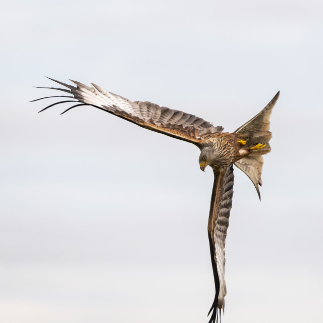 """Red Kite turning"" stock image"