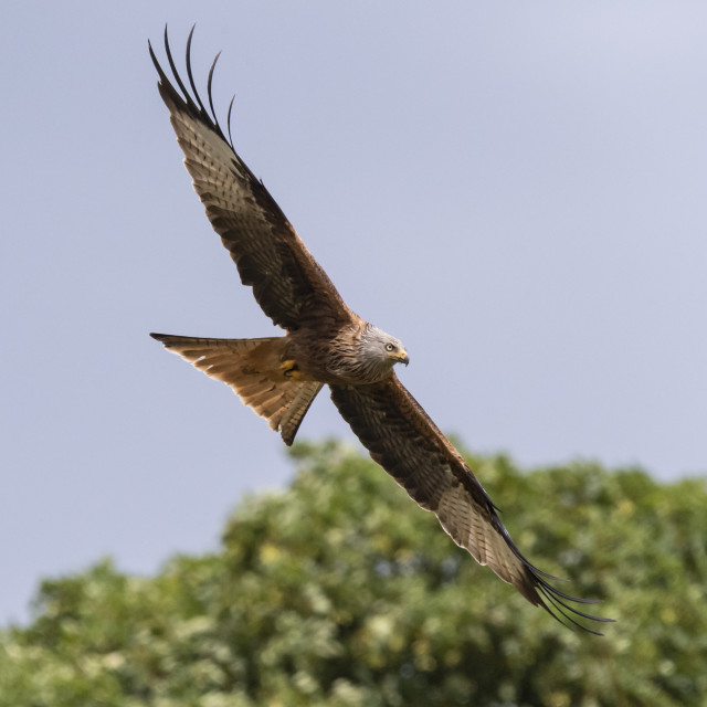 """A Red Kite."" stock image"
