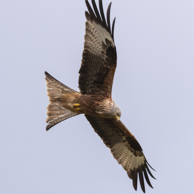 """A Red Kite hunting."" stock image"