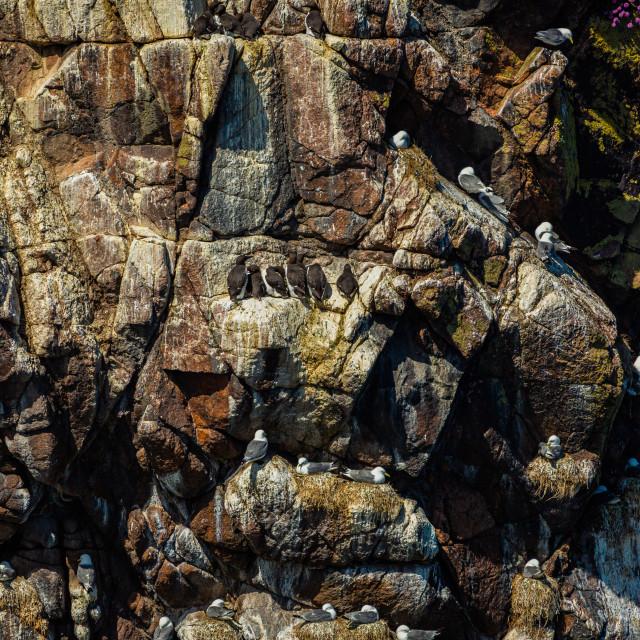 """Sea birds on the cliffs"" stock image"