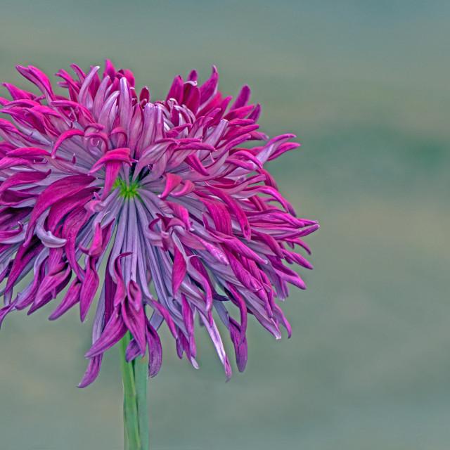 """A Stunning Chrysanthemum"" stock image"