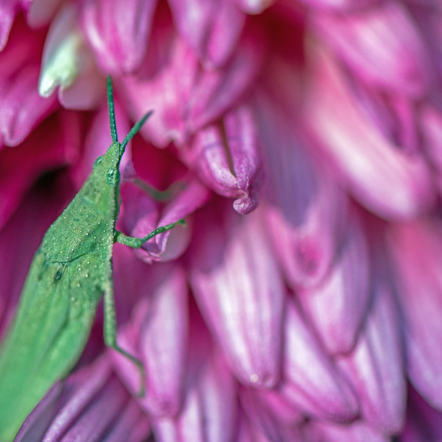 """""""Chrysanthemum and a Green Grasshopper"""" stock image"""