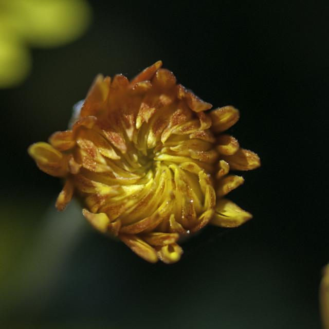 """A Fiery chrysanthemum"" stock image"