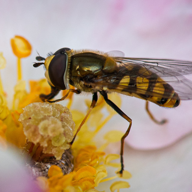 """""""Hover Fly 1"""" stock image"""