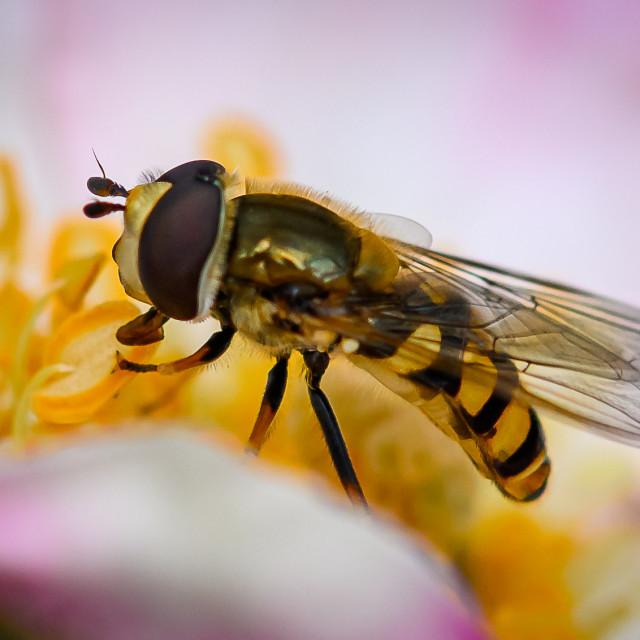 """""""Hover Fly 2"""" stock image"""