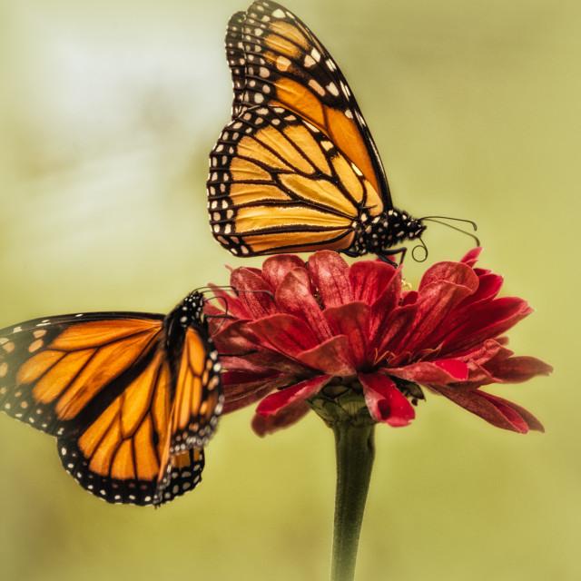 """The Monarchs"" stock image"
