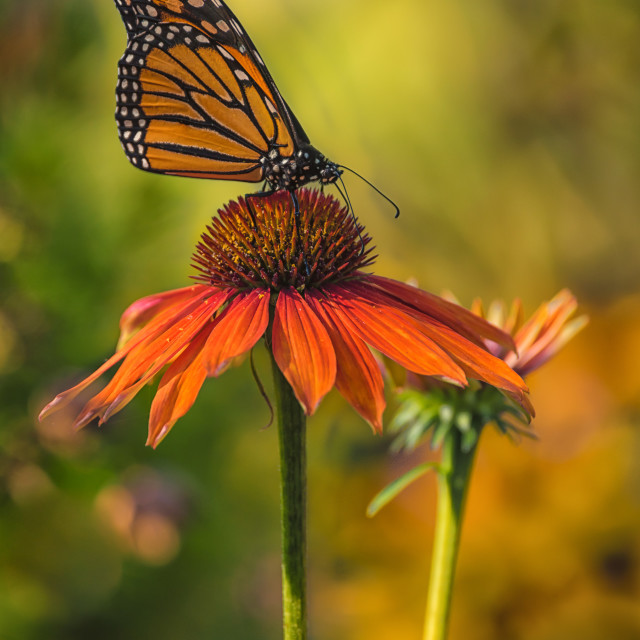 """""""Monarch and Coneflower"""" stock image"""