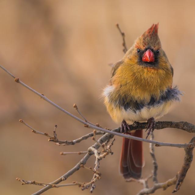 """Female Northern Cardinal"" stock image"