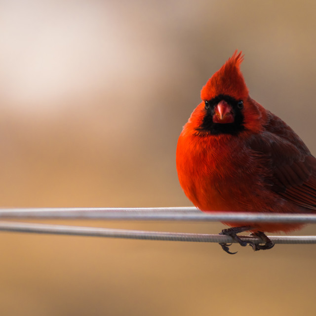 """The Northern Cardinal"" stock image"