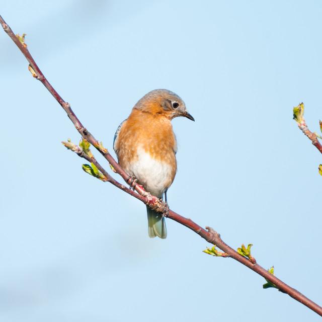 """The Female Eastern Bluebird"" stock image"