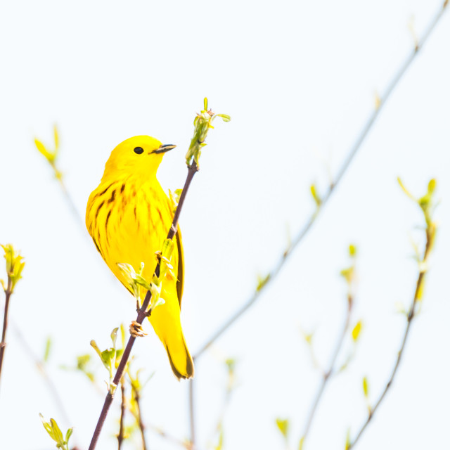"""""""The Yellow Warbler"""" stock image"""