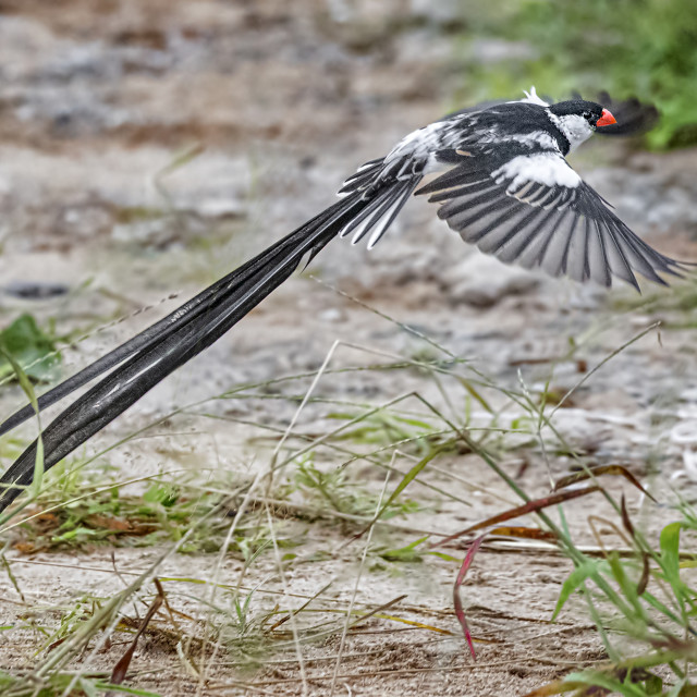 """""""Pin Tailed Whydah 04"""" stock image"""