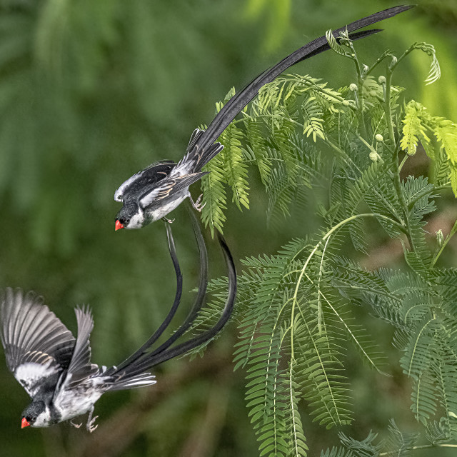 """""""Pin Tailed Whydah 05"""" stock image"""