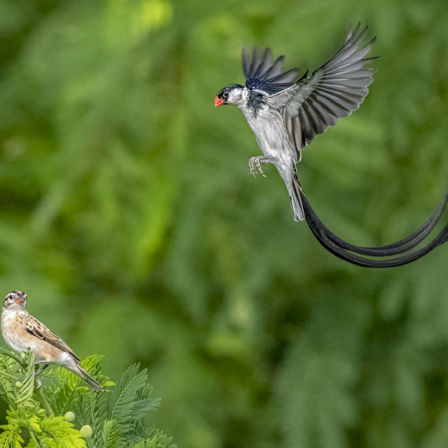 """""""Pin Tailed Whydah 06"""" stock image"""
