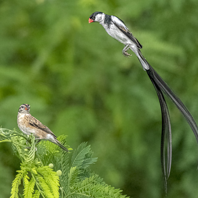 """""""Pin Tailed Whydah 07"""" stock image"""
