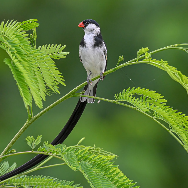 """""""Pin Tailed Whydah 08"""" stock image"""
