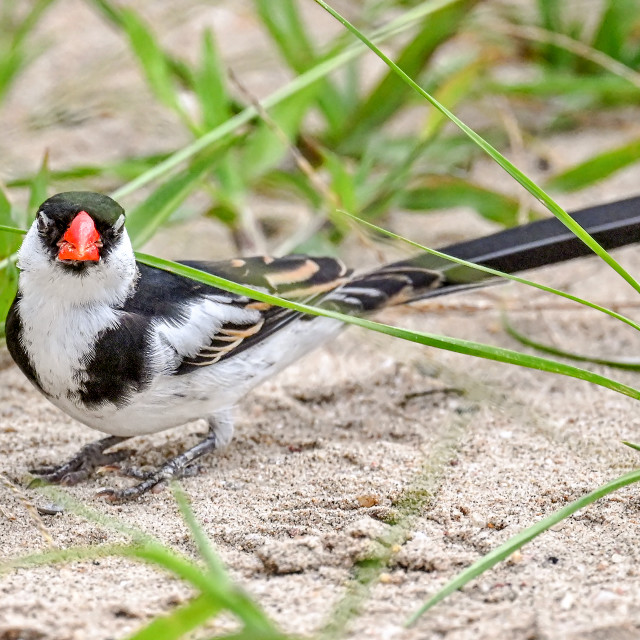 """""""Pin Tailed Whydah 13"""" stock image"""