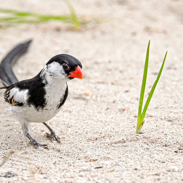 """""""Pin Tailed Whydah 14"""" stock image"""