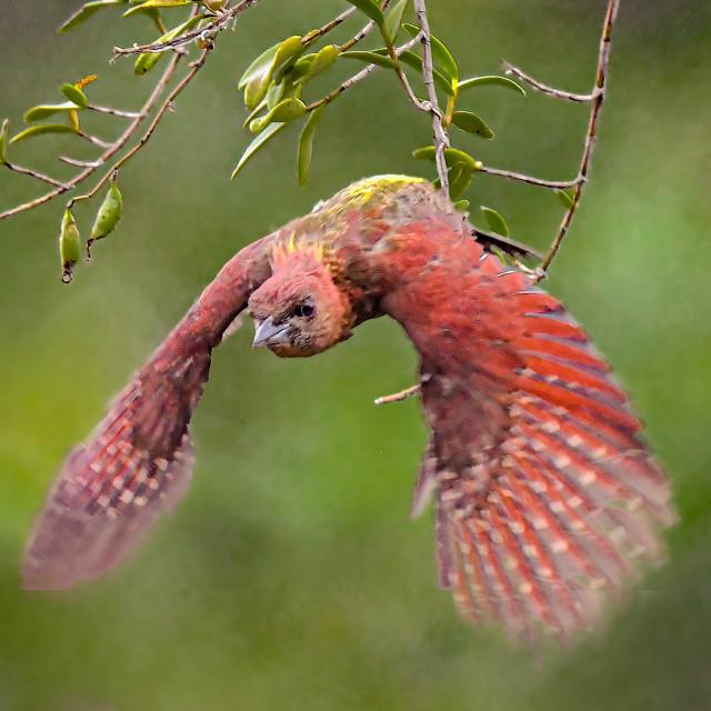 """""""Banded Red Woodpecker 01"""" stock image"""