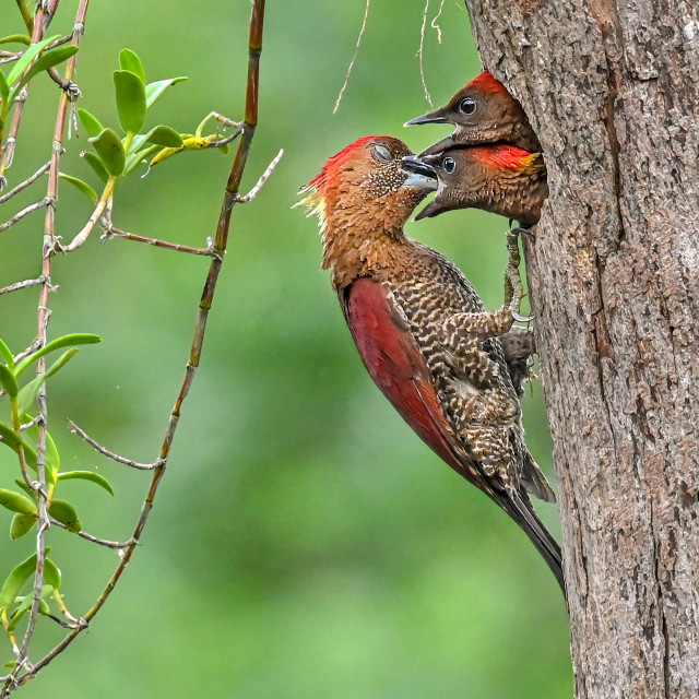 """""""Banded Red Woodpecker 03"""" stock image"""