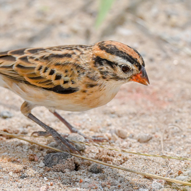 """""""Pin Tailed Whydah Female"""" stock image"""