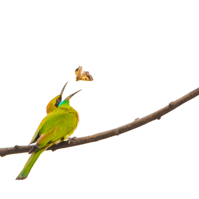 """""""Isolated bee-eater perching on a branch and eating a butterfly"""" stock image"""