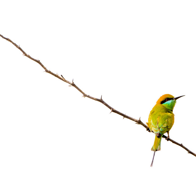 """""""Isolated bee-eater perching on a branch"""" stock image"""