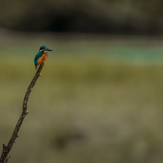 """""""Isolated common kingfisher perching on a pole"""" stock image"""