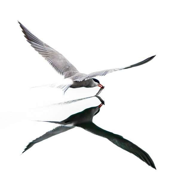 """""""Isolated common tern flying over the water with open wings in full reflection"""" stock image"""
