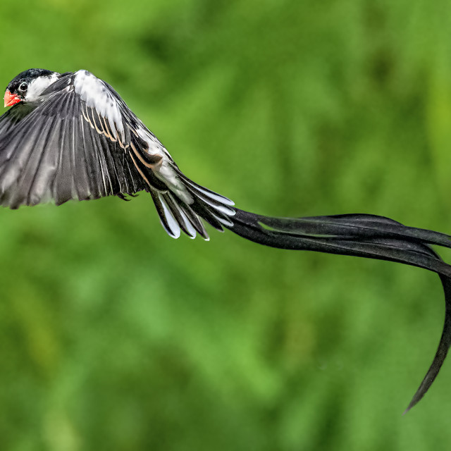 """""""Pin Tailed Whydah 15"""" stock image"""