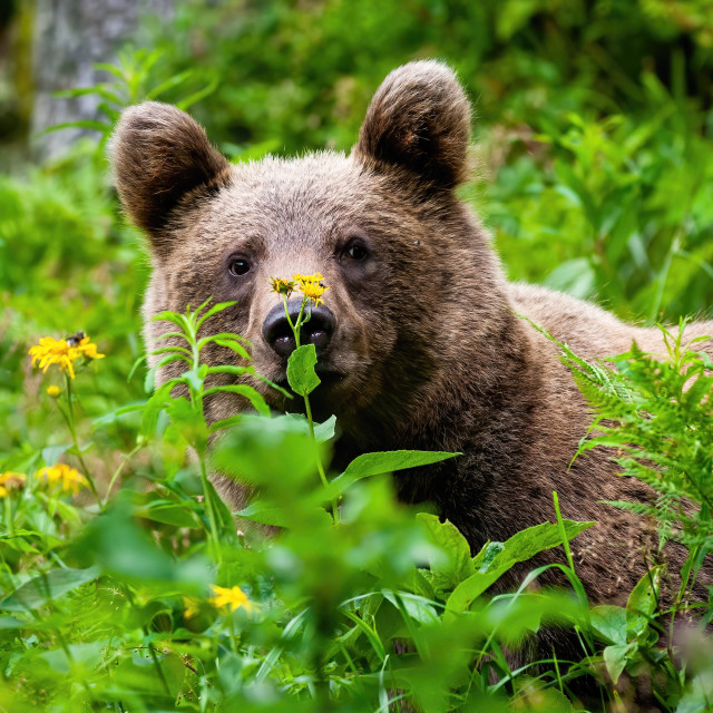 """""""Curious brown bear staring in the summer greenery."""" stock image"""