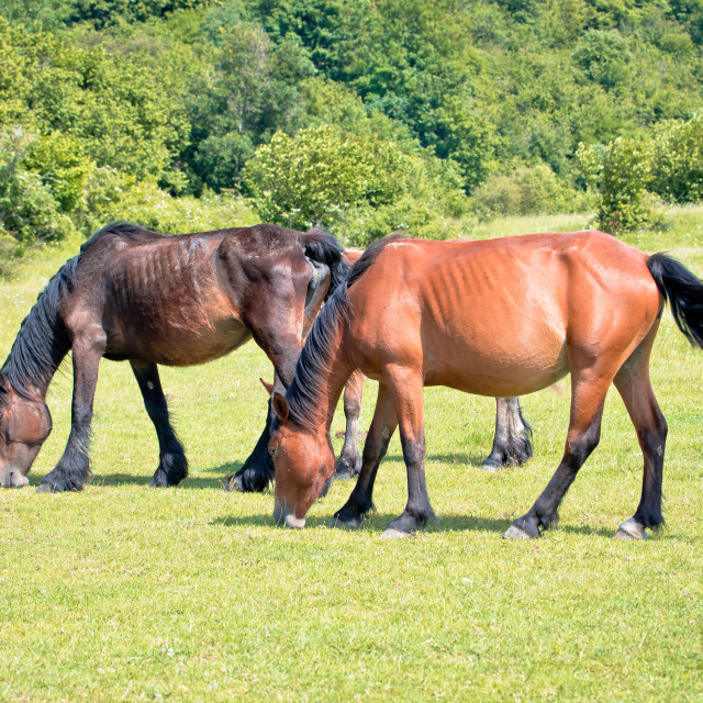 """Wild horses in nature of Velebit mountain view,"" stock image"