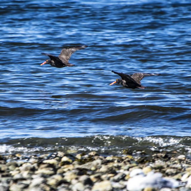 """Black Oyster Catcher"" stock image"
