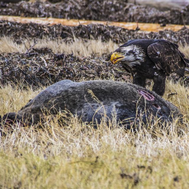 """""""Eagle Feeding"""" stock image"""
