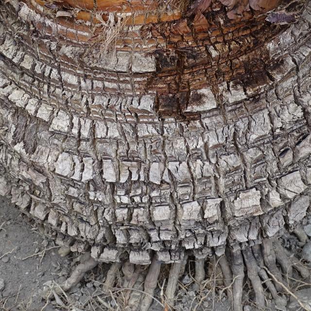 """Livingstona chinensis, plant, palm tree, Zagreb, Croatia"" stock image"