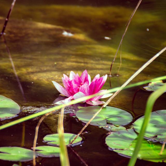 """Waterflower"" stock image"
