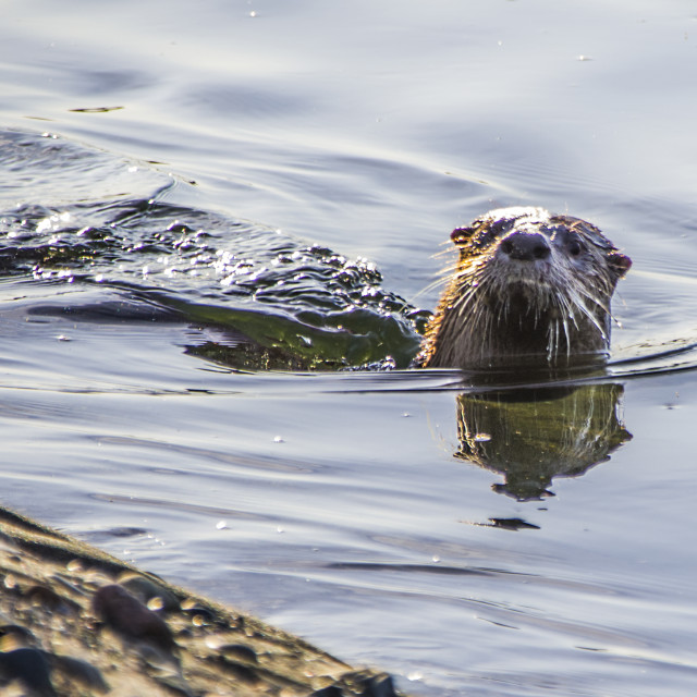"""The Otter"" stock image"