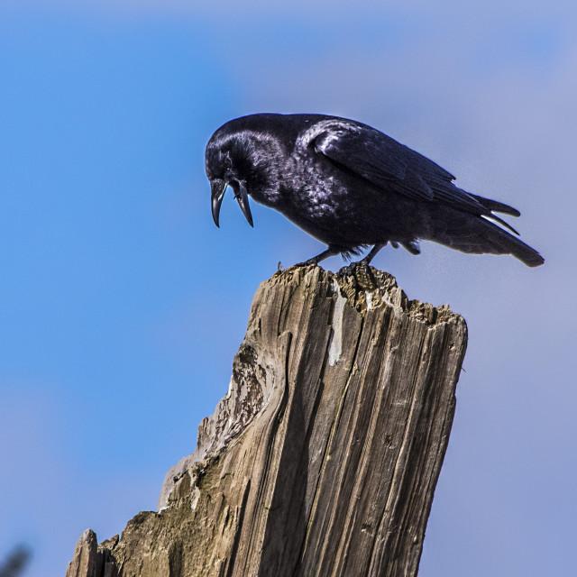 """Raven"" stock image"