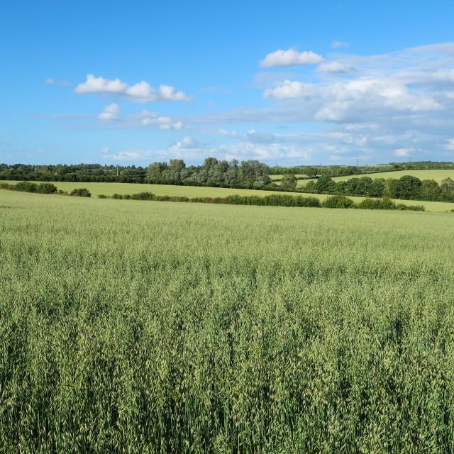 """""""Oat Fields"""" stock image"""
