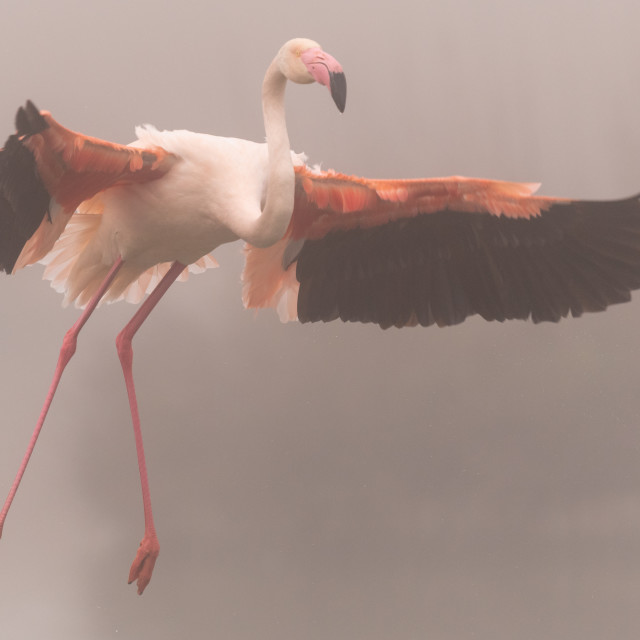 """""""A greater flamingo in flight"""" stock image"""