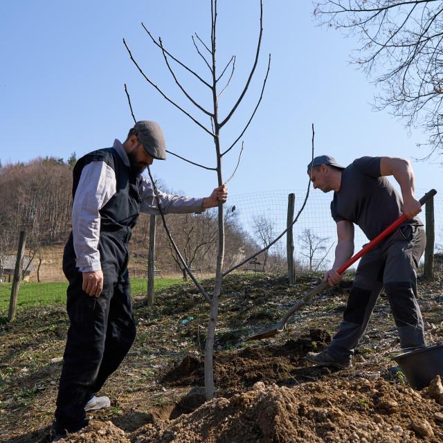 """Farmers planting walnut tree"" stock image"