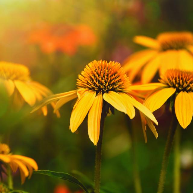 """""""Yellow Coneflower"""" stock image"""
