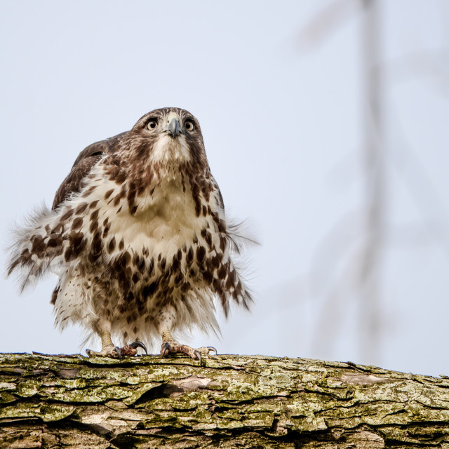 """""""Isolated red tailed hawk perching on a branch"""" stock image"""