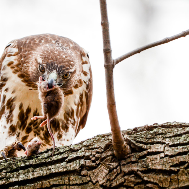 """""""Isolated red tailed hawk perching on a branch with prey"""" stock image"""