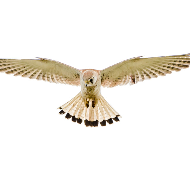 """""""Isolated nankeen kestrel in flight with fully open wings"""" stock image"""