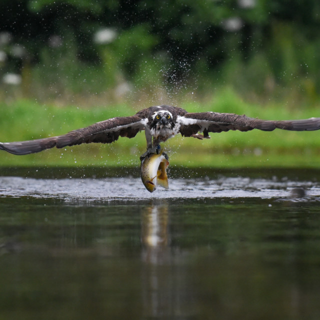 """""""Isolated osprey with catch"""" stock image"""