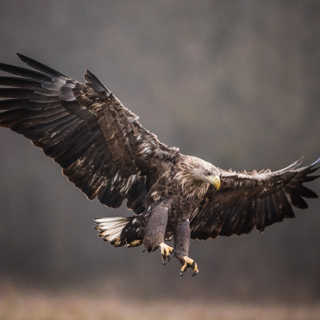 """""""Isolated white tailed eagle in flight with fully open wings"""" stock image"""