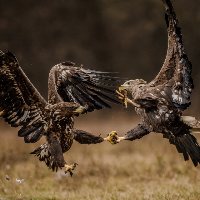 """""""Isolated fighting white tailed eagles in flight with fully open wings"""" stock image"""