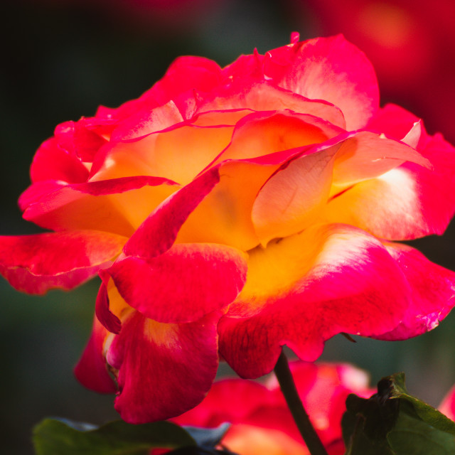 """Red rose"" stock image"