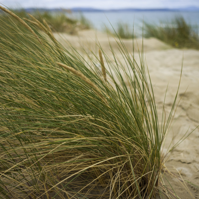 """Coastal grass on the beach"" stock image"